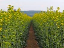 在一个油菜籽领域的一条道路有被弄脏的背景 油菜籽领域的强奸花 油料植物的种植园 生产o 库存图片