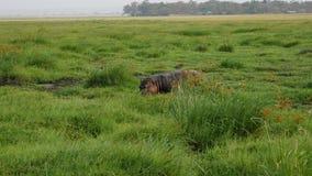 在一个沼泽的牧场地区域的河马步行与在非洲大草原的绿草 股票录像