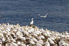 在一个沿海海岛的Gannets 免版税库存图片