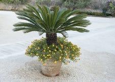 在一个泥罐的短的棕榈有黄色马樱丹属的 库存图片