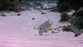 在一个浅含沙区域的Sailfin攫夺者 影视素材