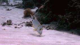 在一个浅含沙区域的Sailfin攫夺者 股票录像