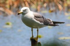 在一个浅池塘的白色鸟 库存照片