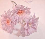在一个浪漫样式的三朵浅粉红色大丁草雏菊 免版税库存照片