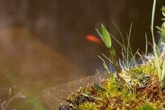 在一个海岛上的一只青蛙在庭院池塘 概念natur 免版税库存照片