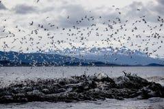 在一个海岛上的鸬鹚和海鸥殖民地小猎犬的乌斯怀亚的开辟小猎犬海峡,火地群岛,阿根廷 免版税库存图片