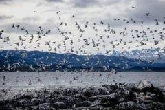 在一个海岛上的鸬鹚和海鸥殖民地小猎犬频道的乌斯怀亚的,火地群岛,阿根廷 免版税库存图片
