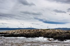 在一个海岛上的鸬鹚殖民地小猎犬频道的乌斯怀亚的,火地群岛,阿根廷 免版税库存照片