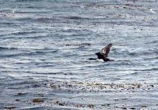在一个海岛上的鸬鹚殖民地小猎犬频道的乌斯怀亚的,火地群岛,阿根廷,南美 免版税库存图片