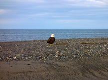 在一个海滩的一只白头鹰在阿拉斯加 免版税库存图片
