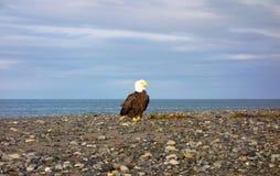 在一个海滩的一只白头鹰在阿拉斯加 库存照片