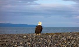 在一个海滩的一只白头鹰在阿拉斯加 免版税图库摄影