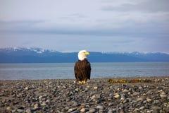 在一个海滩的一只白头鹰在阿拉斯加 图库摄影