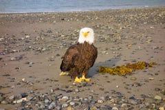 在一个海滩的一只白头鹰在阿拉斯加 库存图片