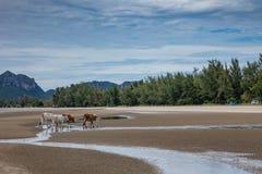 在一个海滩的母牛在泰国 免版税图库摄影