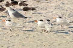 在一个海滩的皇家燕鸥在圣彼德堡佛罗里达 免版税库存照片