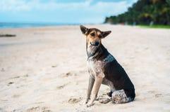 在一个海滩的Tan和黑色流浪狗在喀拉拉,印度 免版税库存照片
