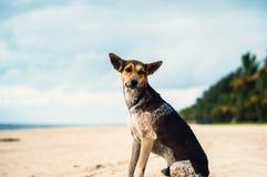 在一个海滩的Tan和黑色流浪狗在喀拉拉,印度 免版税库存图片