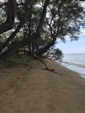 在一个海滩的树在夏威夷 库存图片