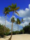 在一个海滩的棕榈树在拉罗马纳 免版税图库摄影