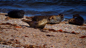 在一个海滩的海狮在苏格兰 免版税库存图片