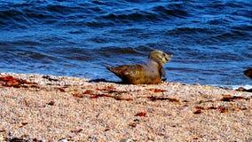 在一个海滩的海狮在苏格兰 免版税库存照片