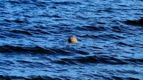 在一个海滩的海狮在苏格兰 库存图片