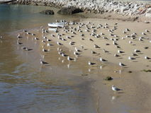 在一个海滩的海鸥与美好的沙子 免版税库存图片