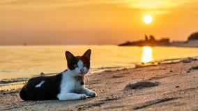 在一个海滩的猫在日落 免版税图库摄影