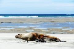 在一个海滩的睡美人在新西兰 免版税库存图片