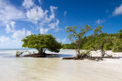 在一个海滩的美洲红树在佛罗里达群岛 库存图片