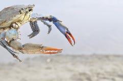 在一个海滩的螃蟹从希腊 免版税库存图片