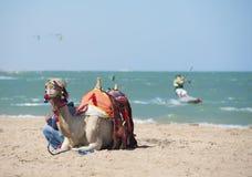 在一个海滩的骆驼与风筝冲浪者 免版税图库摄影