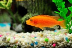 在一个淡水池里面的橙色丽鱼科鱼 图库摄影