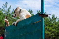 在一个深堑侧壁上的大和强有力的狗攀登 中亚牧羊犬服务技能的训练 免版税库存图片