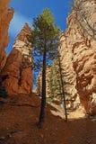 在一个深峡谷的孤立杉木 库存照片