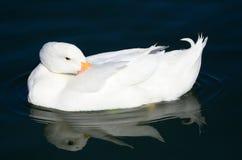 在一个深蓝池塘的美丽的鸭子 免版税图库摄影