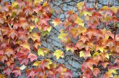 在一个混凝土墙上的秋叶 图库摄影