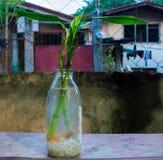 在一个清楚的透明瓶浸泡的新鲜的幸运的竹子充满淡水和白色小卵石 家,Furni的装饰 免版税库存图片