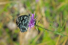 在一个温暖的夏日,蝴蝶会集从一朵桃红色花的花蜜 图库摄影