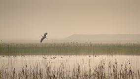 在一个湖上的飞行苍鹭Bardia的,尼泊尔 免版税库存照片
