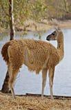 在一个湖旁边的骆马之类在夏天 免版税库存图片