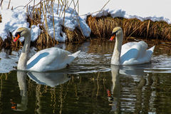 在一个湖的两只天鹅在冬天 免版税库存照片