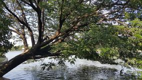 在一个湖的倾斜的树在公园 免版税库存照片