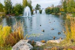 在一个湖的喷泉有鸭子的在美好的秋天停放 Mezhigirya乌克兰 免版税库存图片