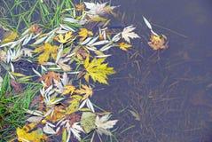 在一个湖的水的下落的叶子有海草的 库存图片