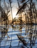 在一个湖的芦苇日落的 图库摄影