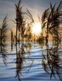 在一个湖的芦苇日落的 免版税图库摄影