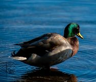 在一个湖的野鸭鸭子在秋天 库存照片