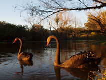 在一个湖的黑天鹅夫妇在晚上太阳 免版税库存图片
